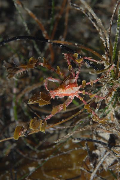 Crab: Podochela hemphilli, Hemphill's Kelp Crab