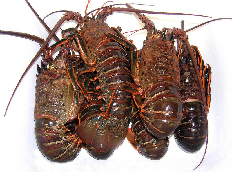 Panulirus interruptus, California Spiny Lobster