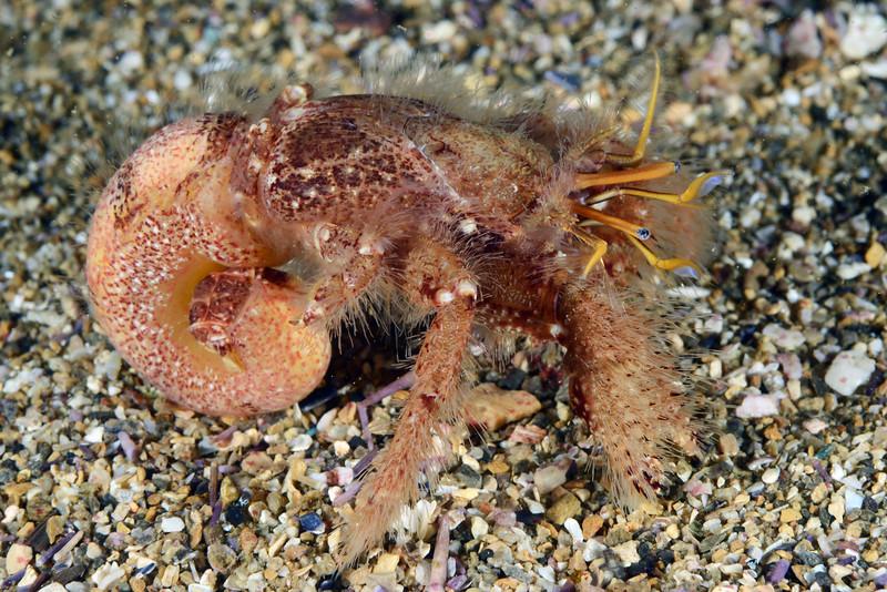 Paguristes ulreyi, Hairy Hermit Crab<br /> Zeigler Reef, Palos Verdes, California