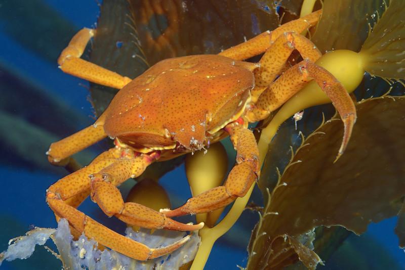 Crab: Pugettia producta, Northern Kelp Crab