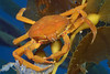 Crab: Pugettia producta, Northern Kelp Crab