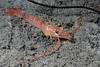 Shrimp: Sicyonia ingentis,  Ridgeback Rock Shrimp<br /> ID thanks to Mary Wicksten