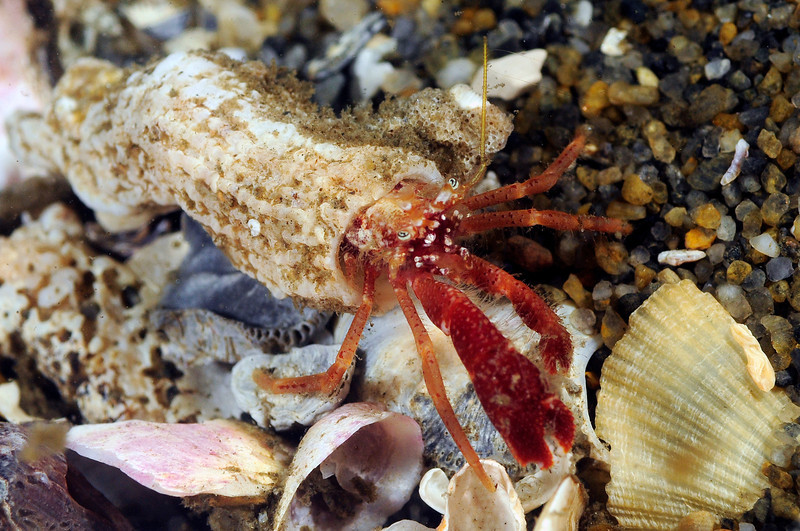 Crab: Orthopagurus minimus, the hermit crab that lives in tubes. Notice the flat major pincer, which is red color - distinctive.<br /> ID thanks to Mary Wicksten.<br /> Hyperion Pipe, El Segundo, California