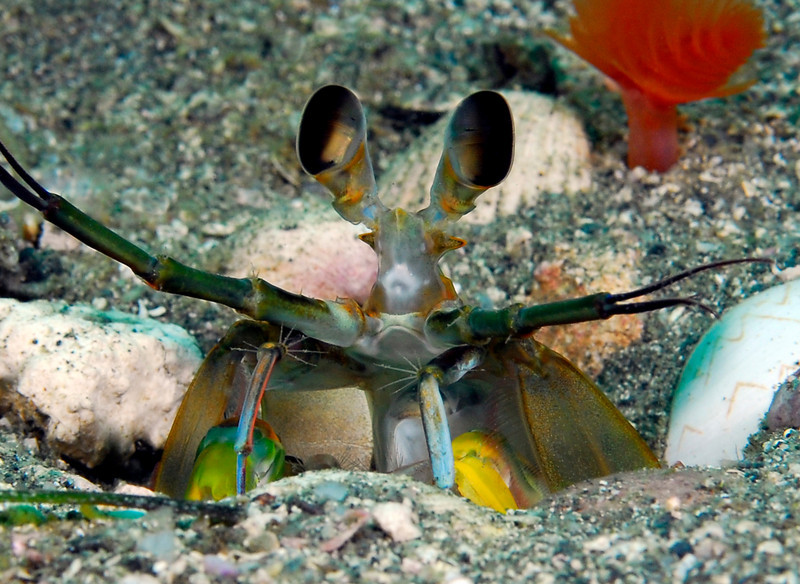 Stomatopoda: Hemisquilla ensigera californiensis