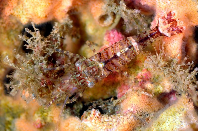 Shrimp: Heptacarpus (?)<br /> Palos Verdes, California