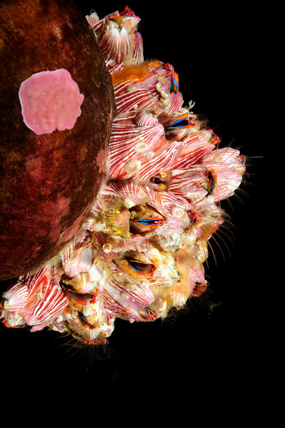 Cirripedia: Megabalanus californicus, California Barnacles, on Norris Top Snail<br /> Catalina Island, California