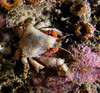 Crab: Pelia tumida, Dwarf Teardrop Crab<br /> ID thanks to Greg Jensen