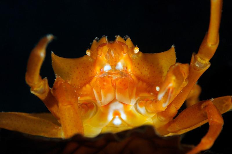 Crab: Kelp Crab<br /> Topaz, Redondo Beach, California