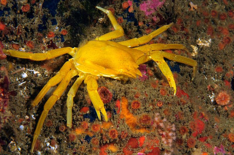 Crab: Pugettia producta, Northern Kelp Crab, molt<br /> Camel Head, Pt. Loma, California<br /> ID thanks to Andy Lamb