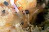 Shrimp: Synalpheus lockingtoni, Snapping Shrimp<br /> Santa Cruz Island, California<br /> ID thanks to Mary Wicksten