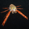 Pleuroncodes planipes, Tuna Crab<br /> Black Water Dive, over 1800-1900 feet depth, 2.5 miles off Palos Verdes, California