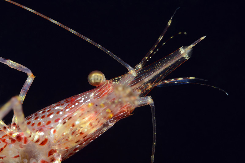 Shrimp: Pandalus gurneyi, California Longbeak Shrimp, under head perspective<br /> Golf Ball Reef, Palos Verdes, California