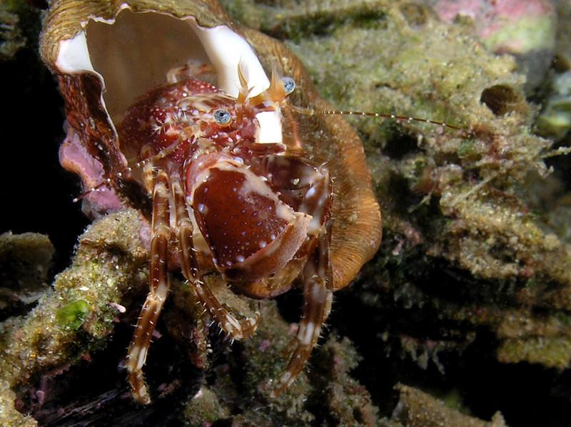 Crab: Phimochirus californiensis