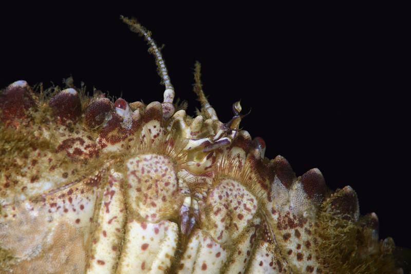 Crab:<br /> Golf Ball Reef, Palos Verdes, California