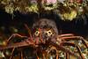 Panulirus interruptus, California Spiny Lobster<br /> Palos Verdes, California