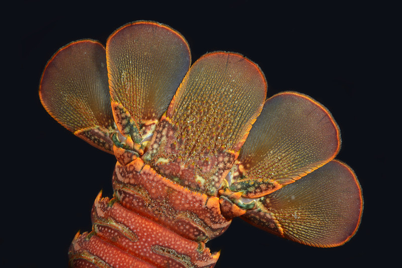 Panulirus interruptus, California Spiny Lobster tail<br /> Golf Ball Reef, Redondo Beach, California