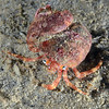 "Crab:  Phimochirus californiensis<br /> After photographing this hermit crab out ""naked"", I placed the shell next to it and it promptly repossessed its home.<br /> ID thanks to Dr. Mary Wicksten, Texas A&M"