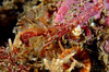 Crab: Orthopagurus minimus, Toothshell Hermit Crab<br /> Pt. Loma, California