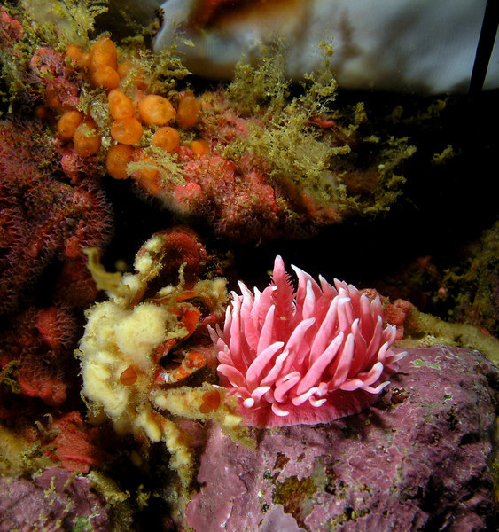Crab: Pelia tumida, Dwarf Teardrop Crab, with Hopkin's Rose nudibranch<br /> ID thanks to Greg Jensen