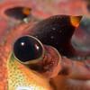 Panulirus interruptus, California Spiny Lobster eye<br /> Golf Ball Reef, Palos Verdes, California