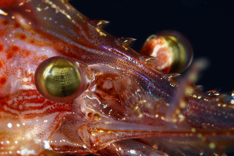Shrimp: Pandalus gurneyi, California Longbeak Shrimp<br /> Golf Ball Reef, Palos Verdes, California