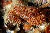 Crab: Paraxanthias taylori, Lumpy Crab<br /> Catalina Island, California