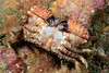 Crab: Paraxanthias taylori, Lumpy Crab, ventral perspective<br /> Merry's Reef, Redondo Beach, California