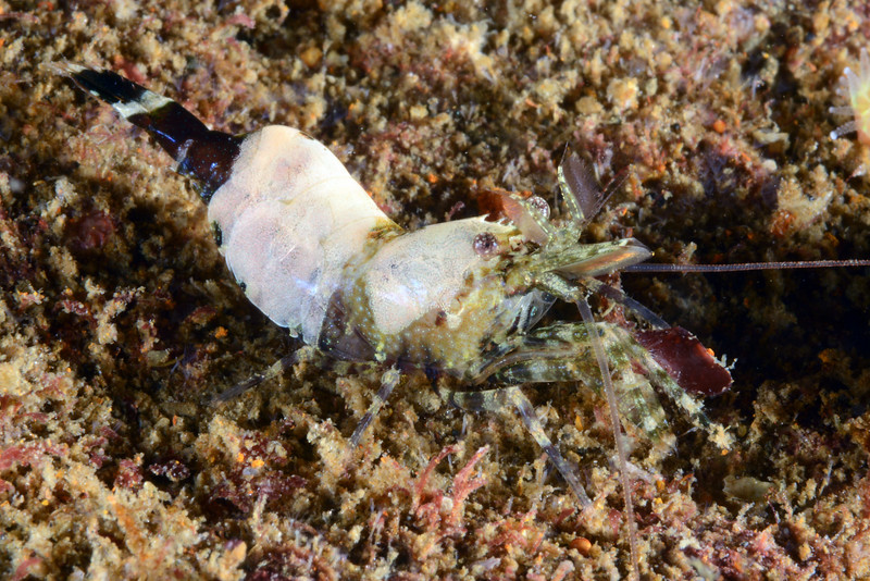 Shrimp<br /> Palos Verdes, California