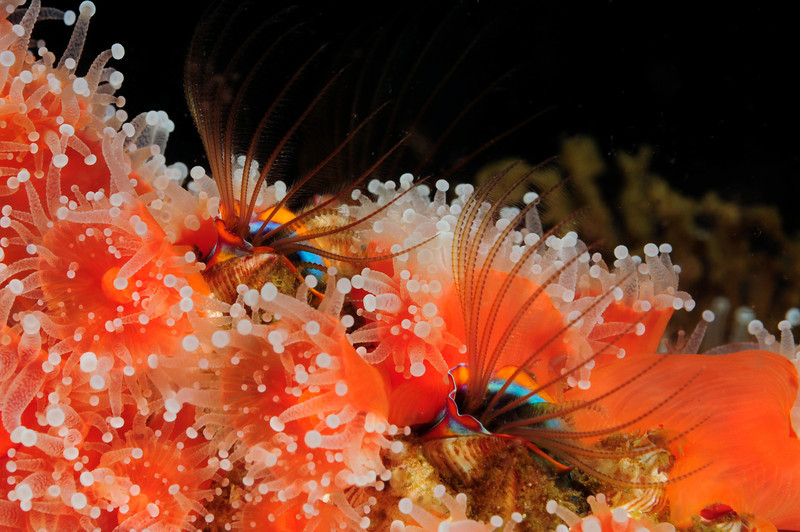 Cirripedia: Balanus nubilus, Giant Acorn Barnacle<br /> Hawthorne Reef, Palos Verdes, California