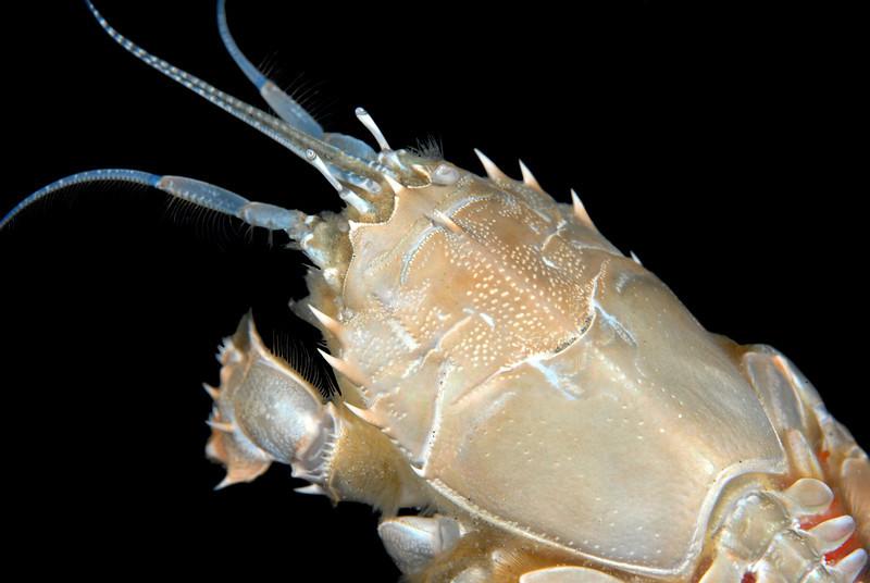 Crab: Blepharipoda occidentalis, Spiny Mole Crab<br /> Redondo Canyon