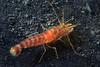Shrimp: Alpheopsis equidactylus<br /> The Platform, Old Marineland, Palos Verdes, California<br /> ID thanks to Merry Passage.