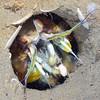Stomatopoda: Hemisquilla ensigera californiensis, Mantis Shrimp<br /> Garden Spot, Palos Verdes, ,California