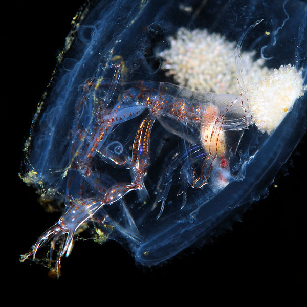"""Phronima sp., a hyperiid amphipod. """"This horrid creature eats out the insides of a living salp and then uses the dead case as a home!"""".<br /> Approximately 6 miles offshore, Palos Verdes, California USA<br /> ID thanks to Dr. Mary Wicksten."""