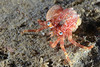 """Crab:  Phimochirus californiensis, out of its shell.<br /> """" That yellow mass on the abdomen is suspicious—might be a parasite, which could lead to strange behavior.""""<br /> Comment by Dr. Mary Wicksten, Texas A&M"""