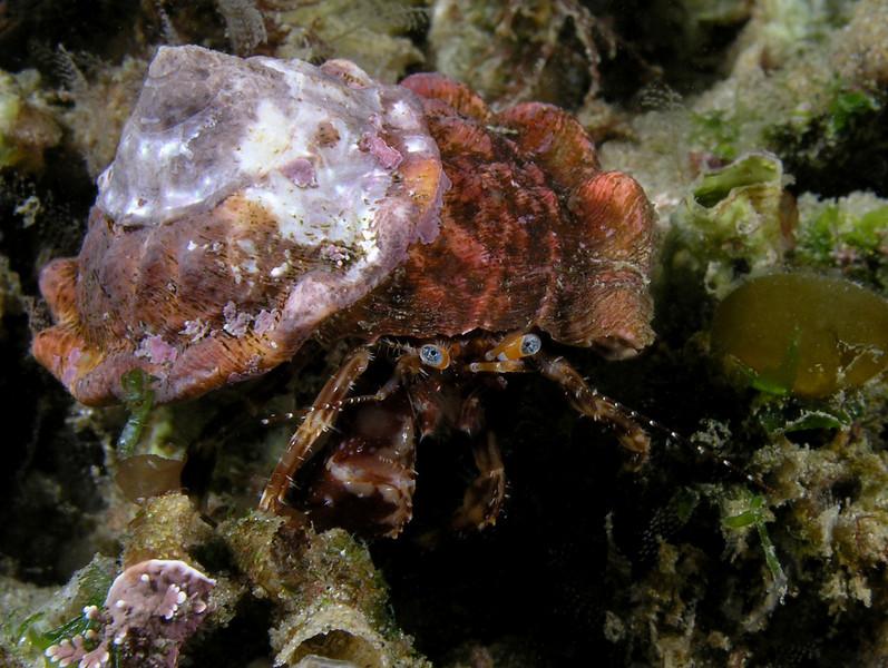 Crab: Phimochirus californiensis<br /> ID thanks to Greg Jensen