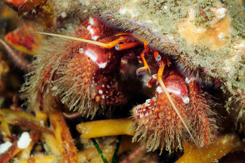 Crab: Hermit Crab.<br /> Redondo Canyon, off Topaz. Redondo, California.