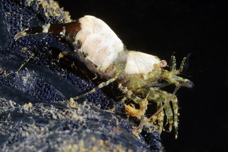 Shrimp<br /> Palos Verdes, California