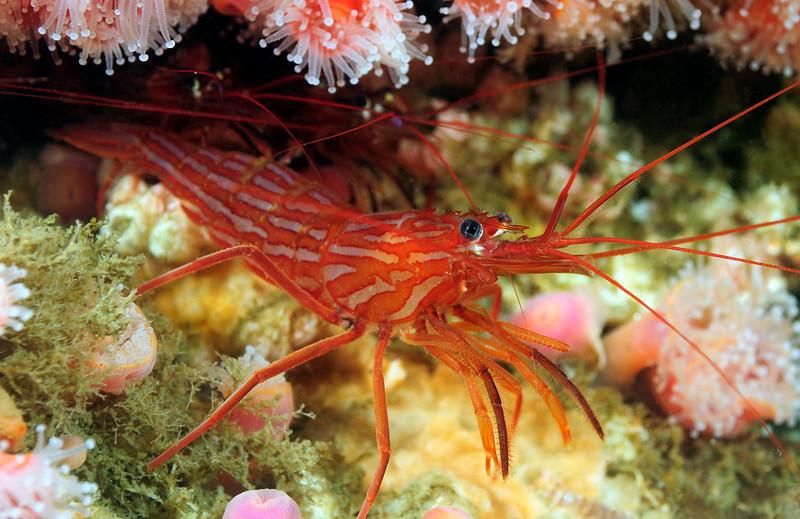 Shrimp: Lysmata californica, Red Rock Shrimp aka Cleaner Shrimp<br /> Phil's Reef, Redondo, California