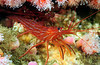 Shrimp: Lysmata californica, Red Rock Shrimp aka Cleaner Shrimp<br /> Phil's Reef, Redondo, California