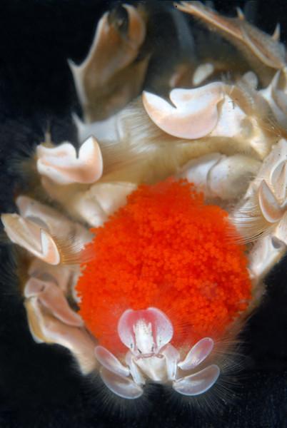 Crab: Blepharipoda occidentalis, Spiny Mole Crab, with eggs<br /> Redondo Canyon