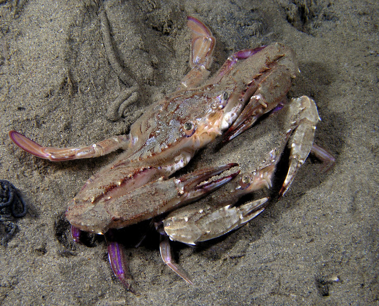 Crab: Portunus xantusii, Xantus' Swimming Crab