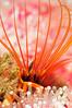 Cirripedia: Balanus nubilus, Giant Acorn Barnacle<br /> 10x SubSee dioppter.<br /> Redondo Canyon, off Topaz, Redondo, California