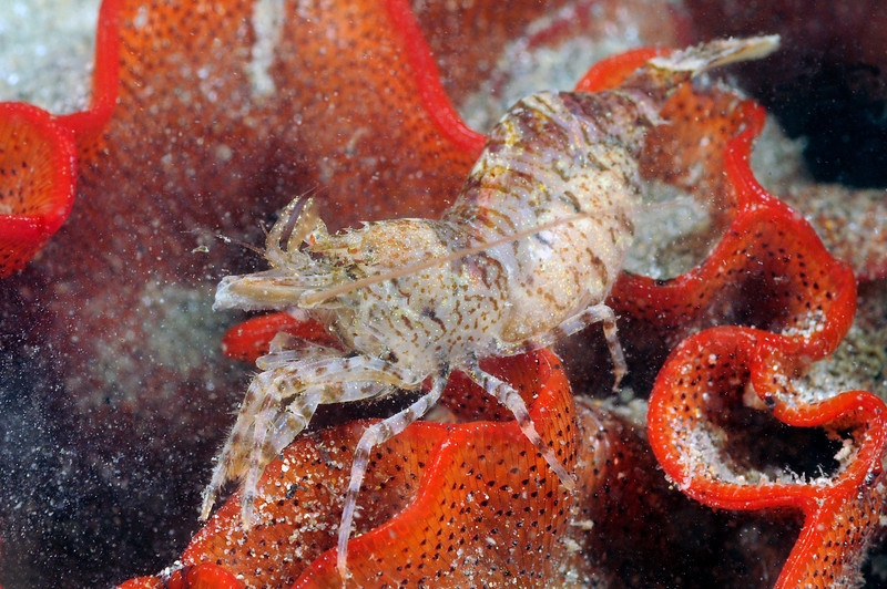 Shrimp: Heptacarpus palpator, likely. Notice those big anterior maxillipeds, also the short rostrum.<br /> T-Pier, Morro Bay, California<br /> ID thanks to Mary Wicksten.
