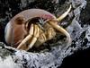 Crab: Isocheles pilosus, Moonsnali Hermit Crab<br /> ID thanks to Greg Jensen