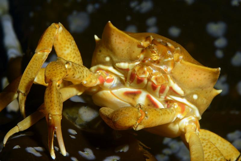 Crab: Pugettia producta, Northern Kelp Crab<br /> Golf Ball Reef, Redondo Beach, California<br /> ID thanks to Andy Lamb