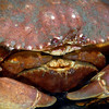 Crab: Metacarcinus anthonyi, Yellow Crab, mating