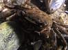 Crab: Pachygrapsus crassipes, Striped Shore Crab