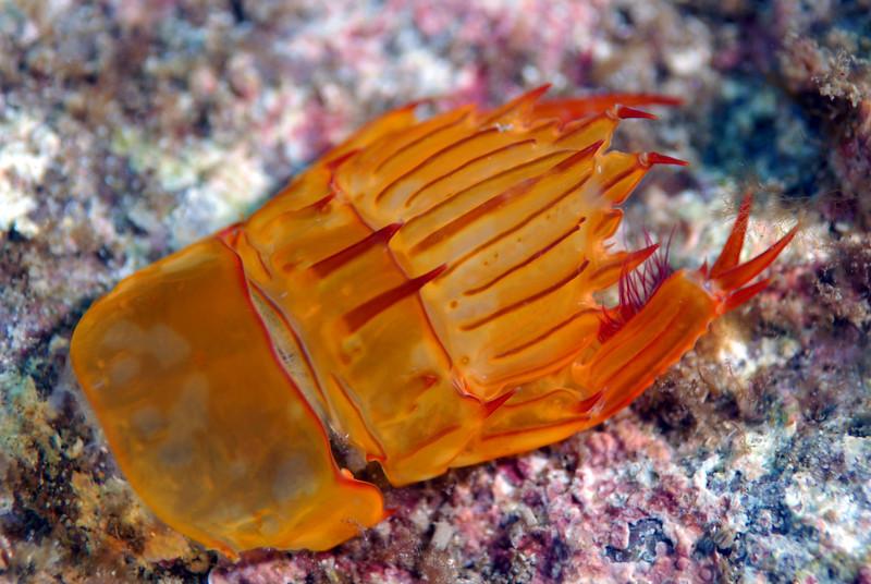 "Stomatopod: Pseudosquillopsis marmorata. ""...the telson, uropods and last abdominal segment from a stomatopod molt."" <br /> ID thanks to Greg Jensen"