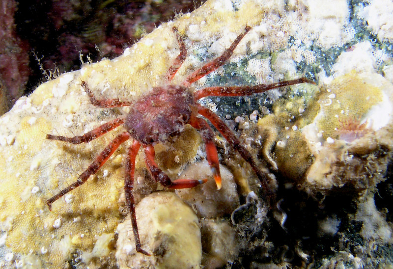 Crab: Herbstia parvifrons, Crevice Spider Crab