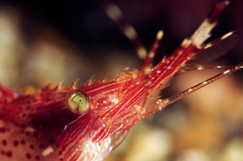 Shrimp: Pandalus gurneyi, California Longbeak Shrimp, with SubSea 10x diopter.<br /> The Barge, Redondo Beach, California